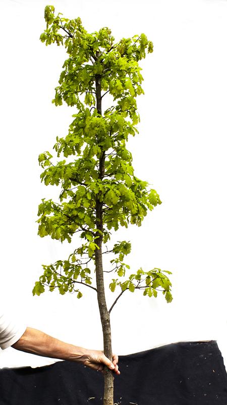 Deze eik quercus robur is 8 jaar oud 120 cm hoog en kost € 65